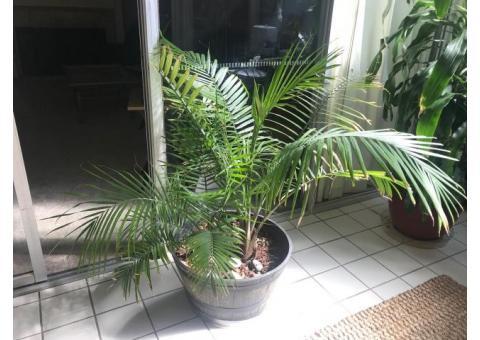 Large Pot Plants indoor/outdoor